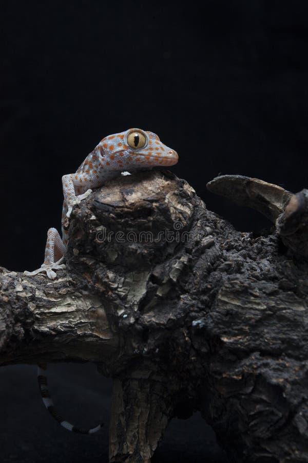 Un gecko tokay de bébé sur le bois de flottage photographie stock