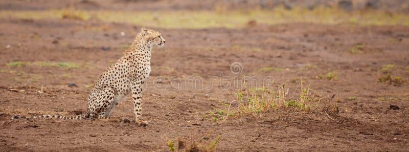 Un gepard sta sedendosi, safari nel Kenya immagine stock