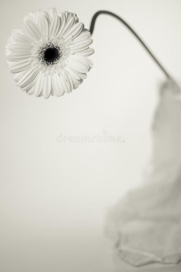 Un Gerbera blanc photo stock