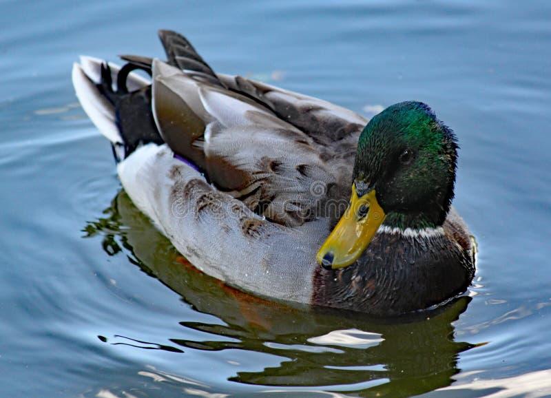 Un germano reale nuota lentamente passato sul canale immagine stock libera da diritti