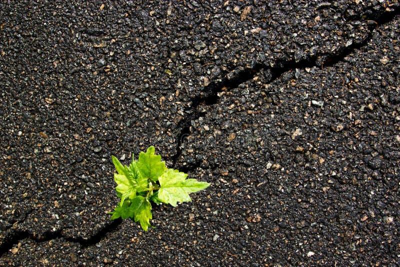 Un germoglio alto di fine verde su un asfalto grigio, concetto del capo, textu immagini stock