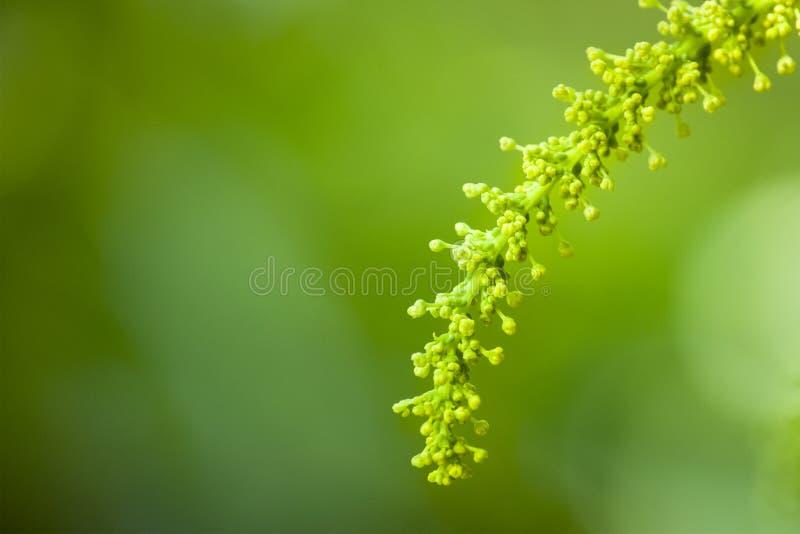Un germoglio di fiore a forma di come un orecchio di grano fotografia stock libera da diritti