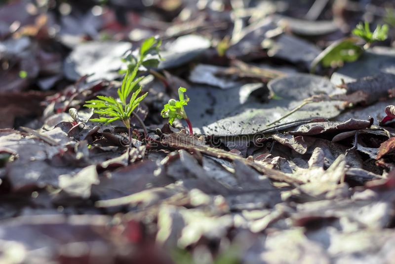Un germoglio verde è perforato tramite le vecchie foglie cadute nella foresta contro un fondo delle foglie asciutte della quercia fotografie stock