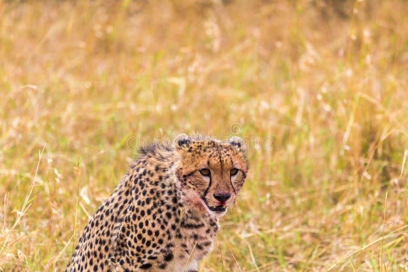 Un ghepardo africano di riposo Masai Mara Il Kenia, Africa fotografia stock libera da diritti
