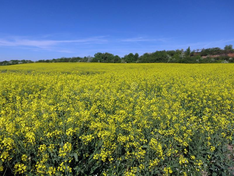 Un giacimento del seme di ravizzone di estate fotografia stock libera da diritti