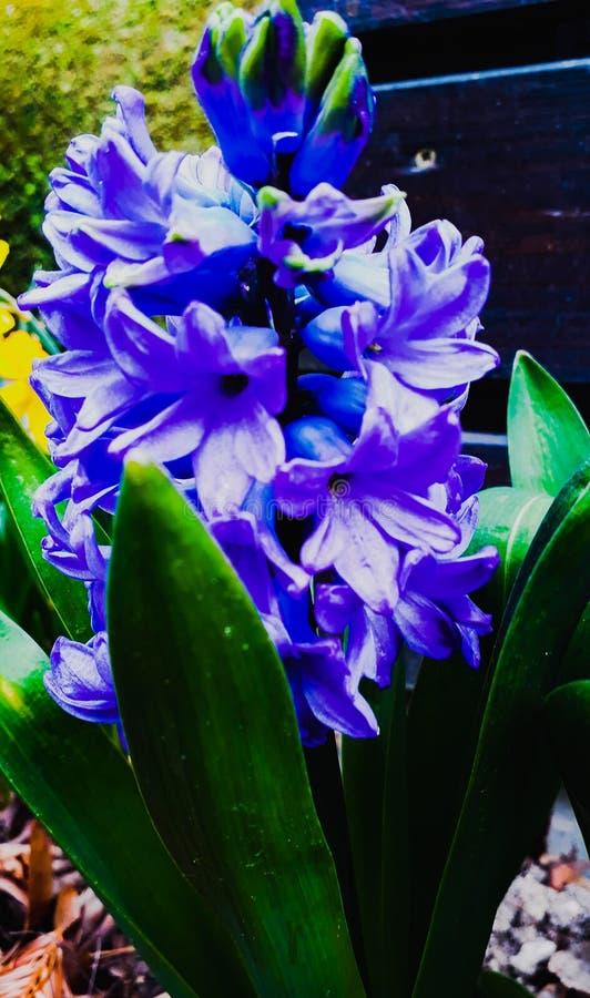 Un giacinto blu fotografia stock libera da diritti