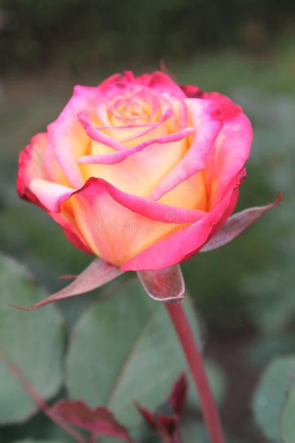 Un giallo e un rosa sono aumentato fotografia stock