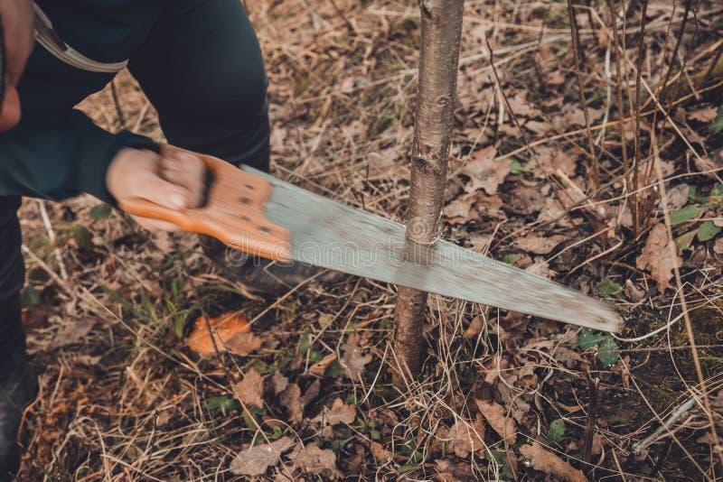 Un giardiniere femminile taglia una mano nel giardino nel giardino giovane, albero non fertile per l'inoculazione dell'albero da  fotografia stock