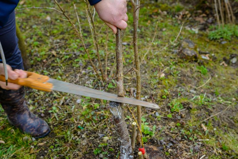 Un giardiniere femminile taglia una mano nel giardino nel giardino giovane, albero non fertile per l'inoculazione dell'albero da  fotografia stock libera da diritti