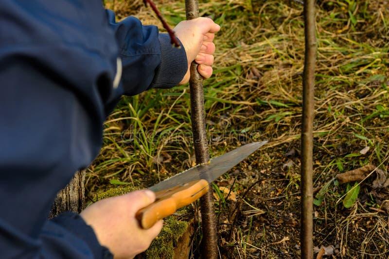 Un giardiniere femminile taglia una mano nel giardino nel giardino giovane, albero non fertile per l'inoculazione dell'albero da  immagine stock