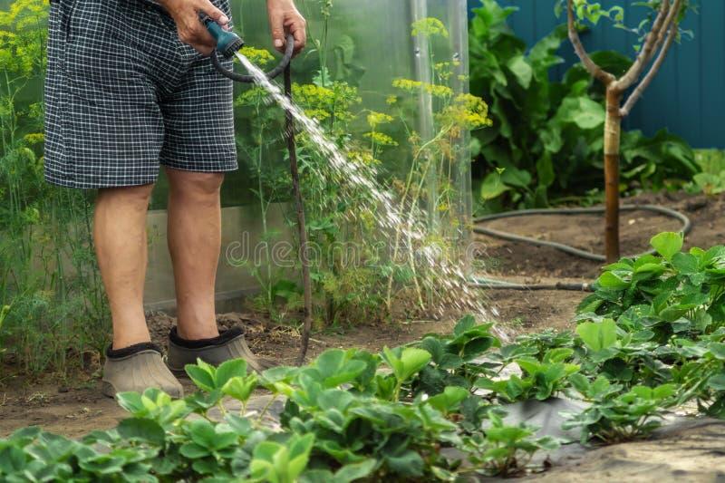 Un giardiniere senior che innaffia i giovani cespugli di fragola in un giardino per spinta di crescita con la pistola di innaffia immagine stock