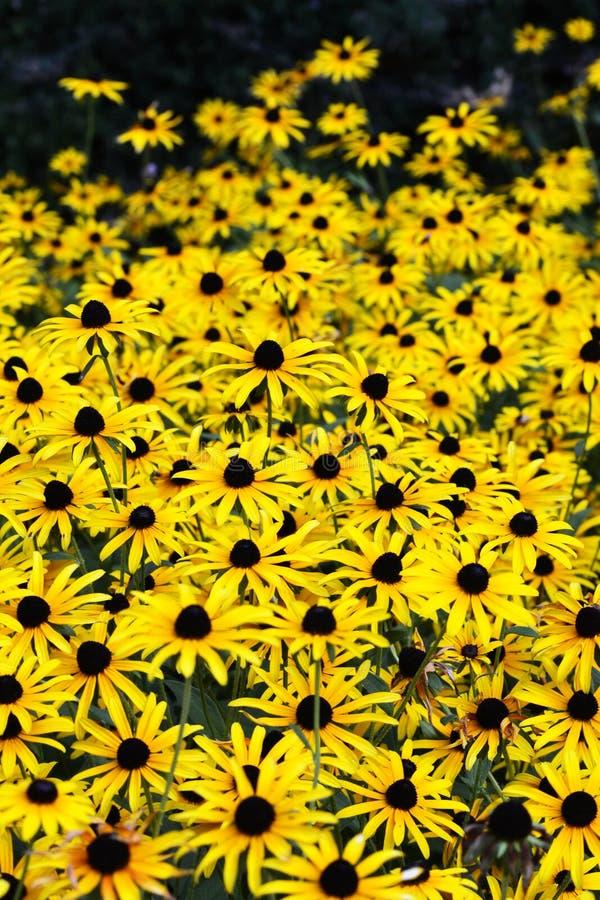 Un giardino delle margherite gialle immagine stock