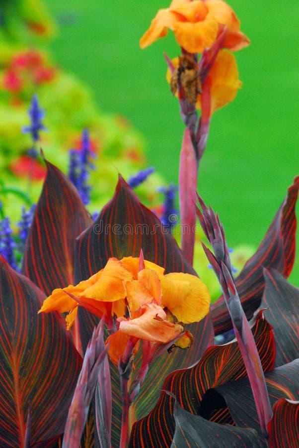 Un giardino inglese a Londra con il gladiolo arancio esotico meravigliosamente variopinto ed altre fioriture variopinte di contra fotografia stock