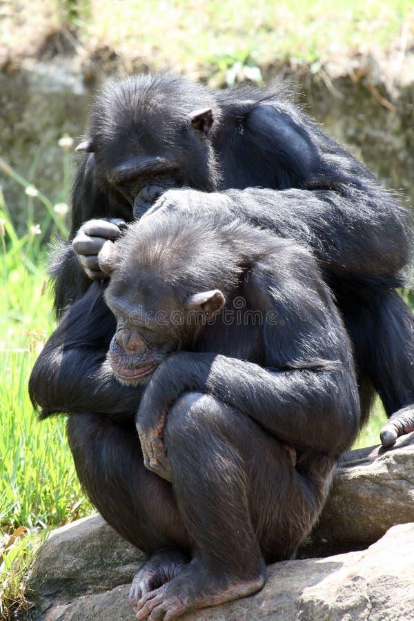 Un gioco dei due scimpanzè fotografie stock libere da diritti