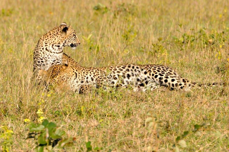 Un gioco di due leopardi fotografia stock