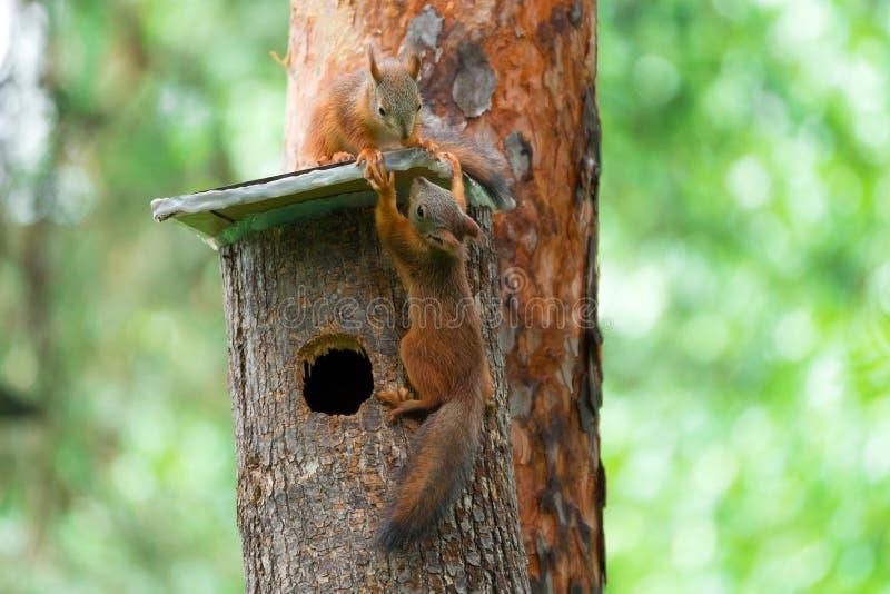 Un gioco di due scoiattoli su una casa sull'albero fotografia stock