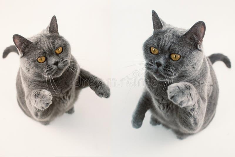 Un gioco grigio di due gatti di Britannici Shorthair fotografia stock libera da diritti