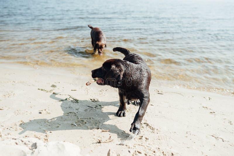 Un gioco marrone allegro di due labradors in acqua immagine stock libera da diritti