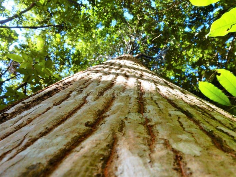 Un giorno soleggiato di ia brasiliano dell'albero immagine stock libera da diritti