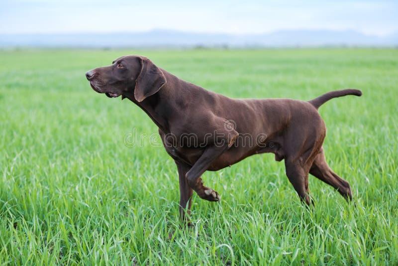 Un giovane cane da caccia marrone muscolare sta stando in un punto nel campo fra l'erba verde Un giorno caldo della molla fotografia stock libera da diritti