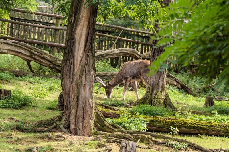 Un giovane cervo mangia l'erba succosa fotografia stock libera da diritti