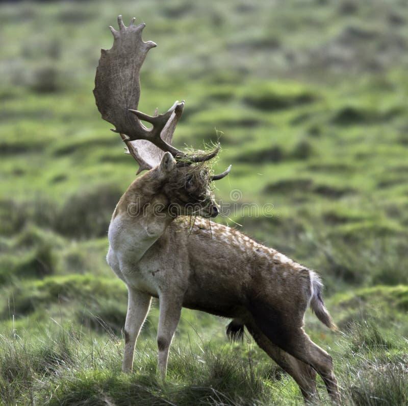 Un giovane cervo maschio con un fronte pieno di erba fotografia stock