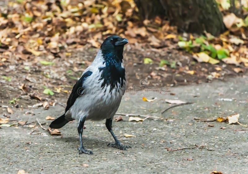 Un giovane corvo nero e grigio con gli occhi brillanti sta su un percorso con le foglie gialle e marroni ed attentamente esamina  fotografie stock libere da diritti