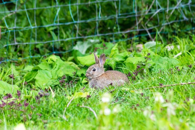 Un giovane cuniculus selvatico europeo di oryctolagus del coniglio vicino ad un recinto al bordo di un campo fotografia stock libera da diritti