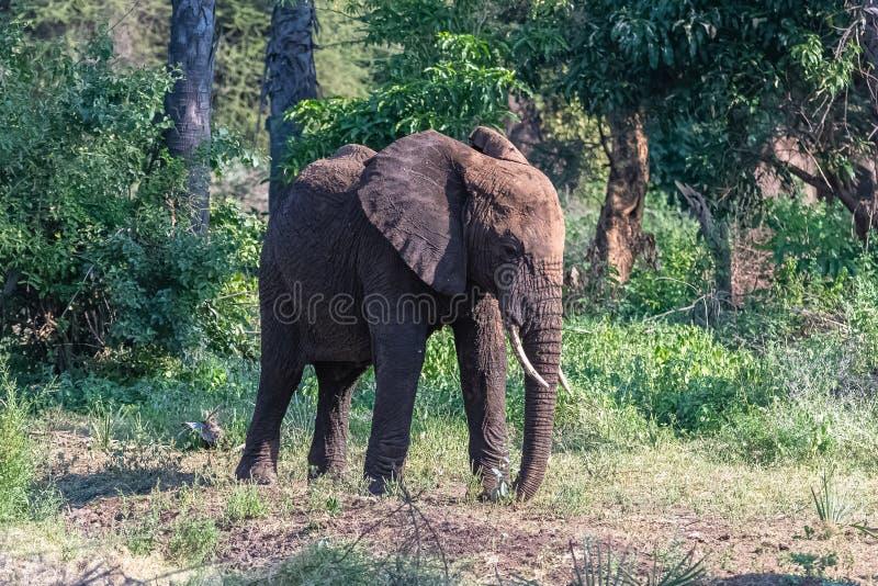 Un giovane elefante nella foresta fotografie stock