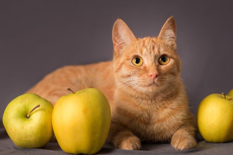Un giovane gatto dai capelli rossi pone fra le mele giallo verde e esamina la distanza fotografia stock