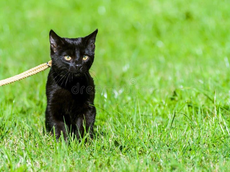 Un giovane gatto nero con i grandi occhi gialli, guinzaglio immagini stock