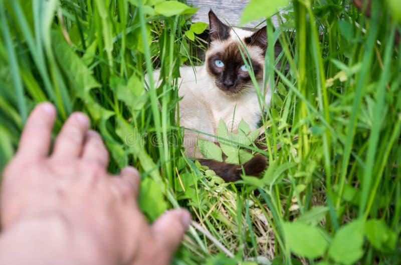 Un giovane gatto tailandese si è nascosto nell'erba immagine stock libera da diritti