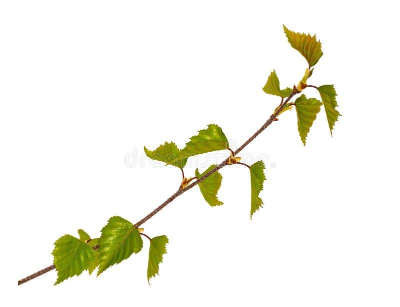 Un giovane germoglio di un ramo della betulla isolato fotografia stock