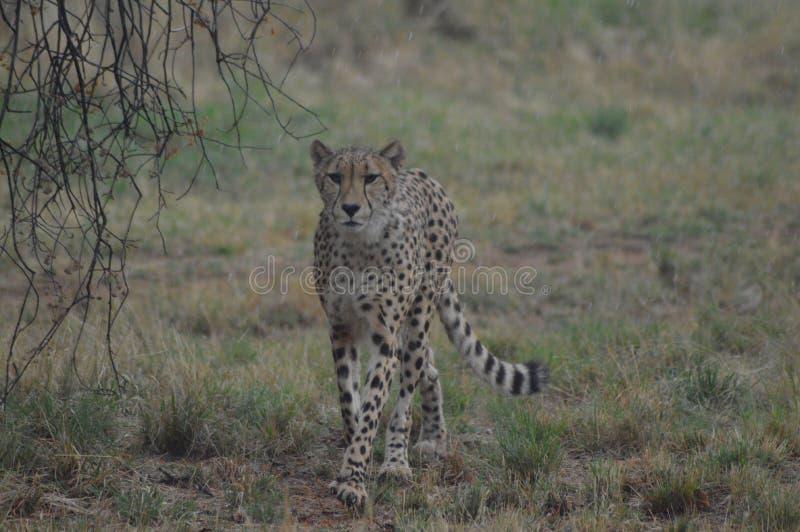 Un giovane ghepardo sveglio durante il nostro safari in una riserva naturale nel Sudafrica fotografie stock