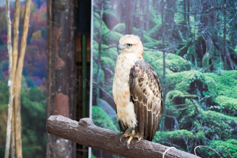 Un giovane Philippine Eagle immagini stock libere da diritti