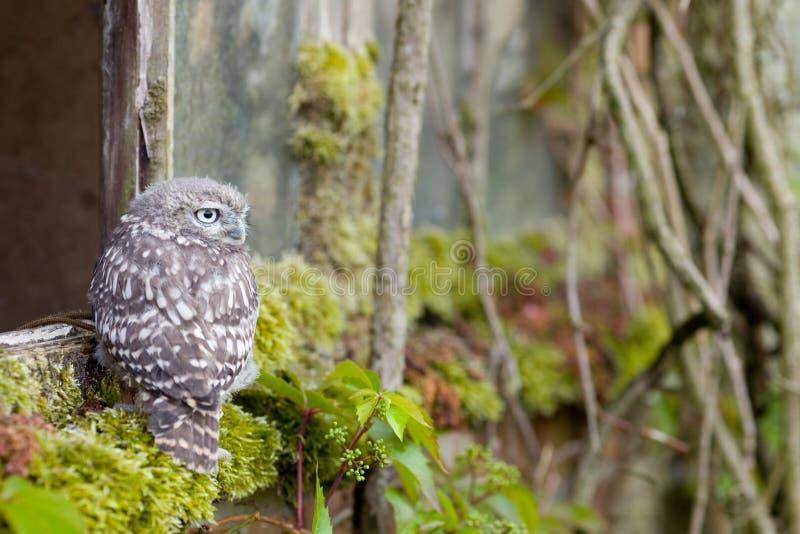 Un giovane piccolo gufo nel suo habitat naturale fotografia stock libera da diritti