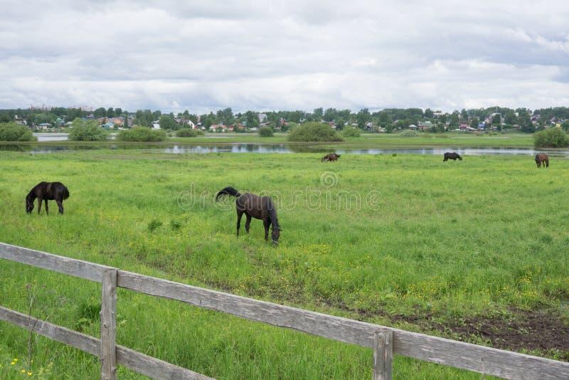 Un giovane puledro marrone con un piccolo punto bianco su un prato verde e giallo di estate Cavallo della madre di Brown Vecchia  immagini stock libere da diritti