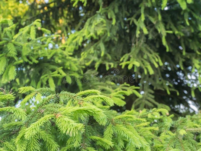 Un giovane ramo dell'abete e un albero maturo fotografie stock