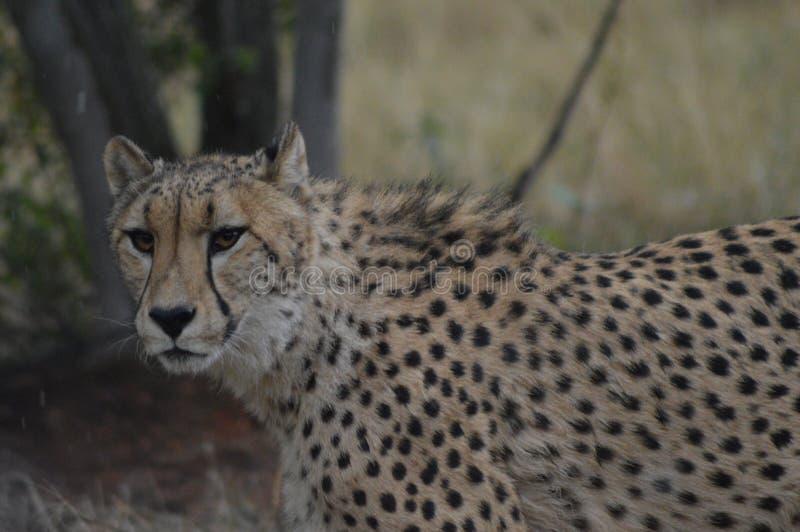Un giovane ritratto sveglio del ghepardo durante il safari immagine stock libera da diritti