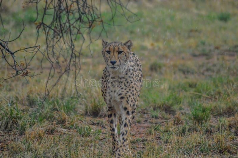 Un giovane ritratto sveglio del ghepardo durante il safari in una riserva di caccia immagini stock
