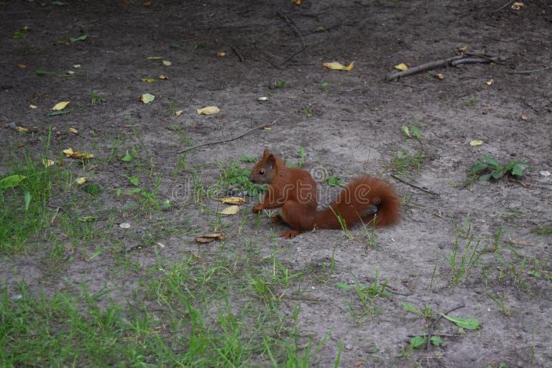 Un giovane scoiattolo in un parco fotografia stock