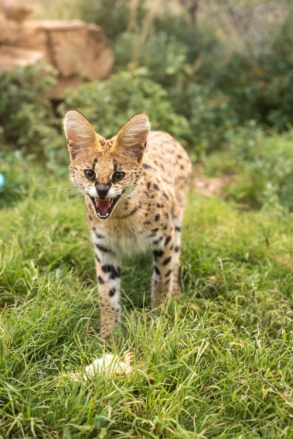 Un giovane serval che mostra i suoi denti taglienti immagine stock libera da diritti