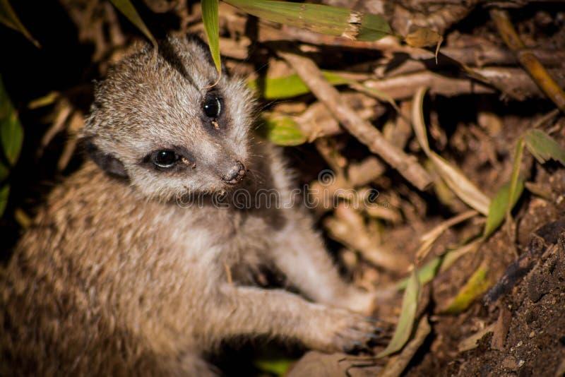 Un giovane suricatta del Suricata o (di Meerkat) fotografia stock libera da diritti