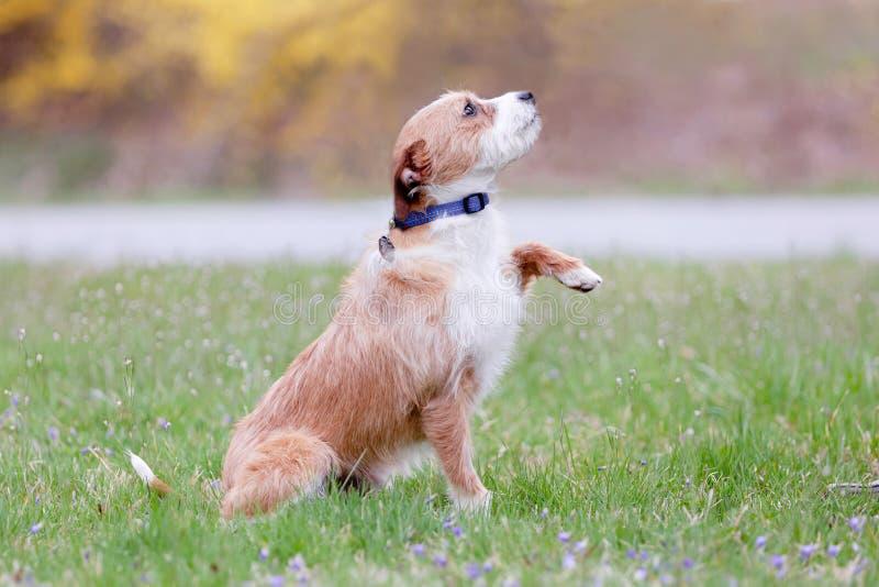 Un giovane terrier misto della razza che si siede nella supplica dell'erba fotografia stock