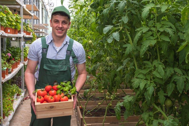 Un giovane in uniforme lavora in una serra Verdure fresche di stagione Uomo felice con i pomodori della cassa fotografia stock