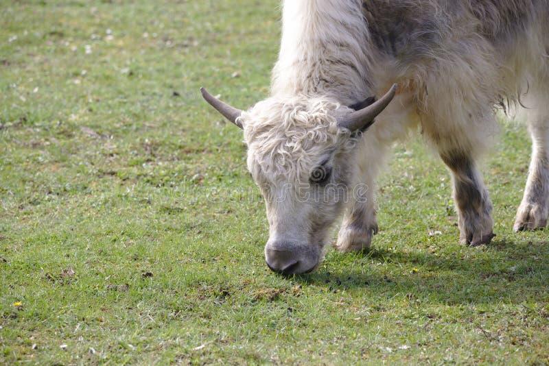 Un giovane yak domestico che pasce immagine stock