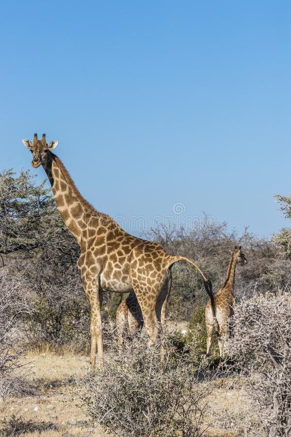 Un Giraffa Camelopardalis con un bebé, parque nacional de Etosha, Namibia de la jirafa de la madre imagen de archivo libre de regalías
