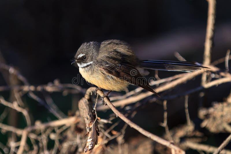 Un girante laterale della Nuova Zelanda, un piccolo uccello canoro fotografie stock