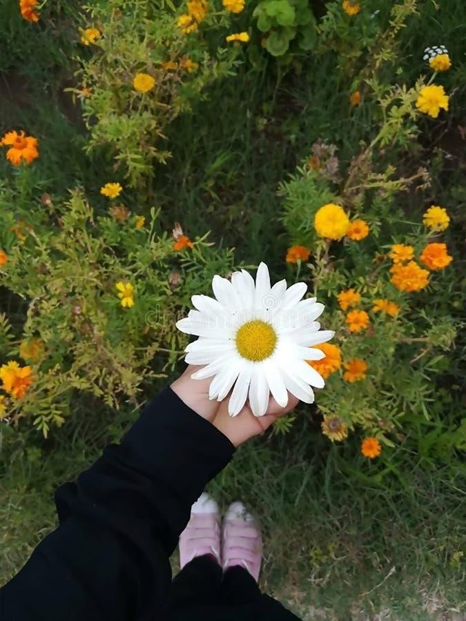 Un girasol blanco en un jardín por completo de flores imágenes de archivo libres de regalías
