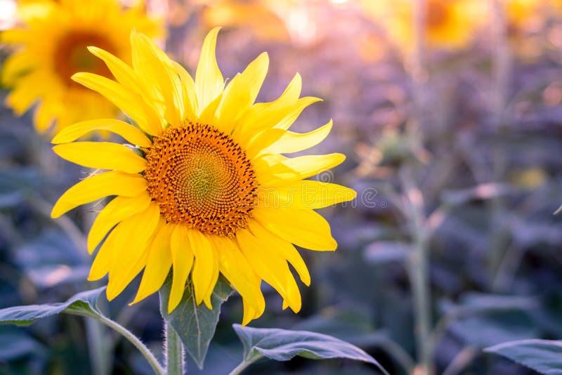 Un girasol en el sol, con el it& x27; pétalos abiertos de s señalados a la luz fotografía de archivo libre de regalías